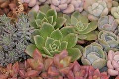 Cacto e plantas carnudas de jardinagem Fotos de Stock