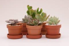 Cacto e plantas carnudas de jardinagem Imagens de Stock