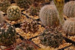 Cacto e plantas carnudas de jardinagem Imagens de Stock Royalty Free
