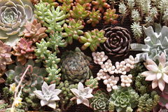 Cacto e plantas carnudas de jardinagem Imagem de Stock Royalty Free