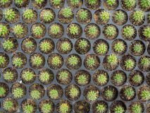 Cacto (Echinocactus) Fotos de Stock