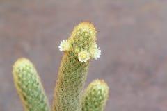 Cacto elongate do Mammillaria com flores brancas. Fotografia de Stock Royalty Free