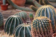Cacto em ajardinar do deserto Fotografia de Stock