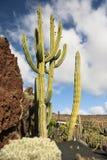 Cacto en el jardín Lanzarote del cacto Foto de archivo