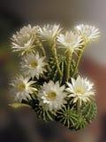 Cacto en la floración Imagen de archivo libre de regalías
