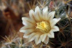 Cacto en la floración imagen de archivo
