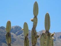 Cacto en los Andes Imagenes de archivo
