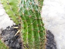 Cacto, espinhos, fundo, macro, planta, deserto, verde, espinho, sharp, planta carnuda, hemorroidas, branco, natureza, cor, verão, Imagem de Stock Royalty Free