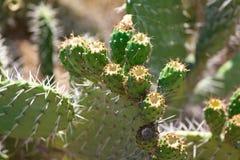 Cacto espinhoso verde de Bush com Web de aranha Fotografia de Stock Royalty Free