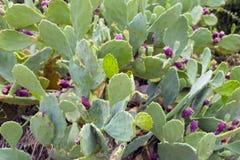 Cacto ficus-indica com ele frutos doces do ` s - parte traseira exótica foto de stock
