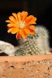 Cacto floreciente Fotografía de archivo