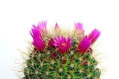 Cacto floreciente Foto de archivo libre de regalías