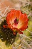 Cacto floreciente Fotos de archivo