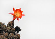 Cacto floreciente fotografía de archivo libre de regalías