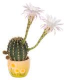 Cacto floreciente con las flores blancas Fotografía de archivo