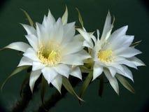 Cacto floreciente de la familia Echinopsis. Foto de archivo