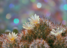 Cacto floreciente del Mammillaria Fotos de archivo