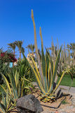 Cacto gigante e agave enormes Fotos de Stock Royalty Free