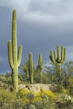 Cacto grande del saguaro y nubes hinchadas blancas Imágenes de archivo libres de regalías