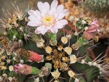 Cacto (Gymnocalycium) Imagem de Stock Royalty Free
