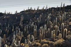 Cacto, isla de Incahuasi Fotos de archivo libres de regalías
