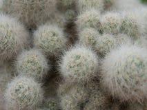 Cacto (Mammillaria) Imagens de Stock Royalty Free