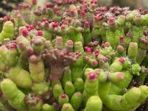 Cacto (Mammillaria) Imagem de Stock