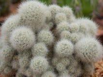 Cacto (Mammillaria) Imagens de Stock