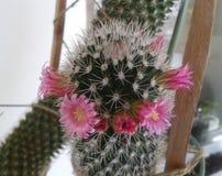 Cacto na flor Imagem de Stock Royalty Free