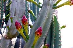 Cacto na flor Foto de Stock Royalty Free