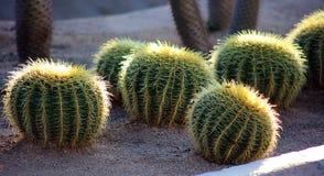 Cacto na imagem dos megapixels da planta 50 de México Los Cabos Fotografia de Stock