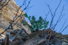 Cacto nas rochas Fotos de Stock Royalty Free
