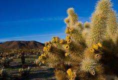 Cacto no deserto Fotos de Stock Royalty Free