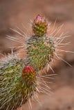 Cacto no deserto com botão da flor Imagens de Stock Royalty Free