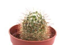Cacto no flowerpot Imagem de Stock