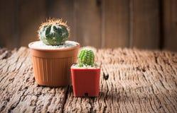 Cacto pequeno no potenciômetro Foto de Stock Royalty Free