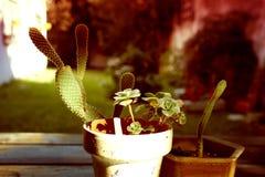 Cacto plantas carnudas Imagens de Stock