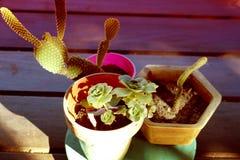 Cacto plantas carnudas Foto de Stock