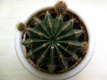 Cacto redondo Echinopsis Fotos de Stock
