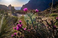 Cacto, sol de ajuste, montanhas de Chisos no parque nacional de curvatura grande Imagem de Stock