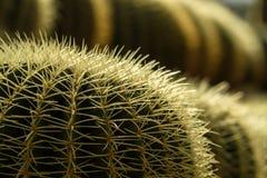 Cacto Thorn Close acima de II imagens de stock