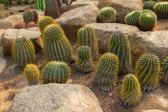 Cacto verde Imagem de Stock