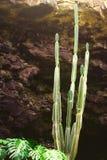 Cacto verde dentro de uma caverna Imagens de Stock