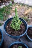 Cacto verde do close up na abundância do solo Imagem de Stock