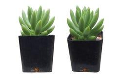 Cacto verde minúsculo que não tem o ponto Fotografia de Stock Royalty Free