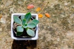 Cacto verde no potenciômetro de flor Imagem de Stock
