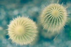 Cacto verde no solo de potting com espinhos longos foto de stock royalty free