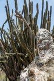 Cacto verde por Grey Rock Fotografia de Stock Royalty Free