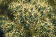 Cacto verde Tiro macro Vegetação espinhoso da casa fotos de stock