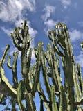 Cactos altos verdes múltiplos fotografia de stock